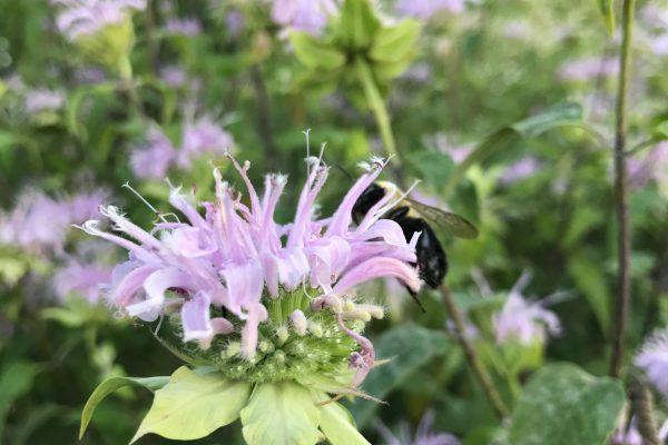 Bee Balm (Monarda Fistulosa)_3
