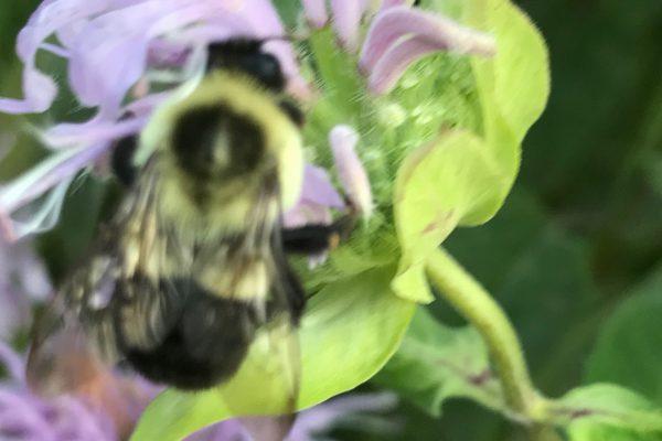 Bee Balm (Monarda Fistulosa)_4