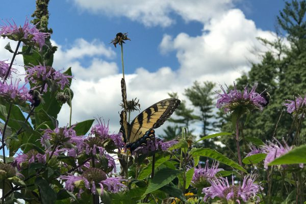 Bee Balm with butterfly_10