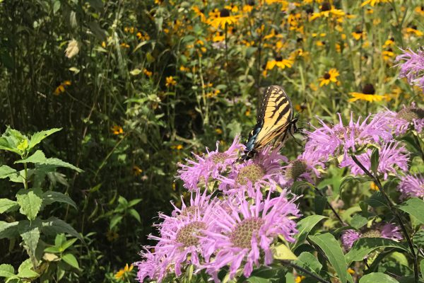 Bee Balm with butterfly_17