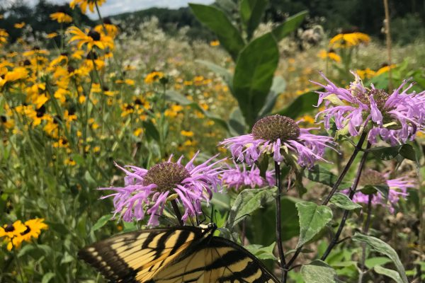 Bee Balm with butterfly_19