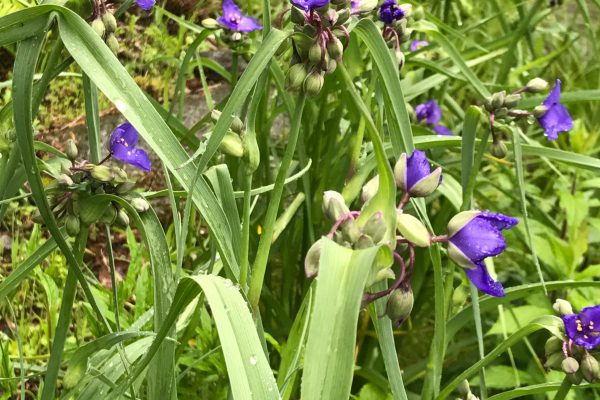 Ohio Spiderwort (Tradescantia Ohiensis)_2