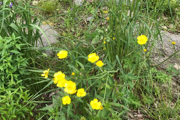 Sundrops (Oenothera Fruticosa)_1