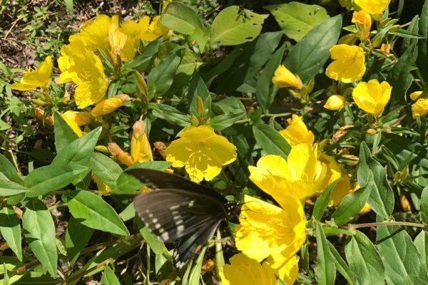 Sundrops (Oenothera Fruticosa)_2