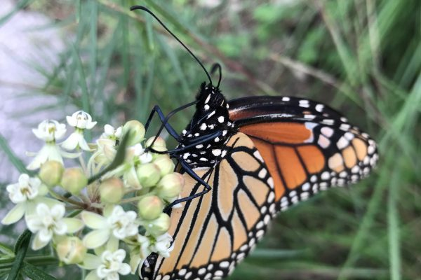 Whorled Milkweed (Asclepias Verticillata) with butterfly_1